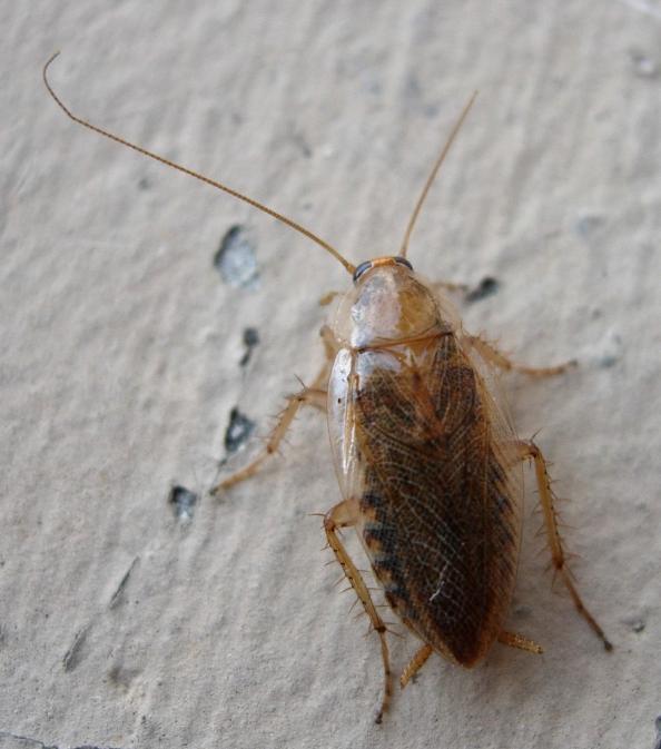 Images de blattes et cafards site pour enfants - Pourquoi des fourmis dans la maison ...